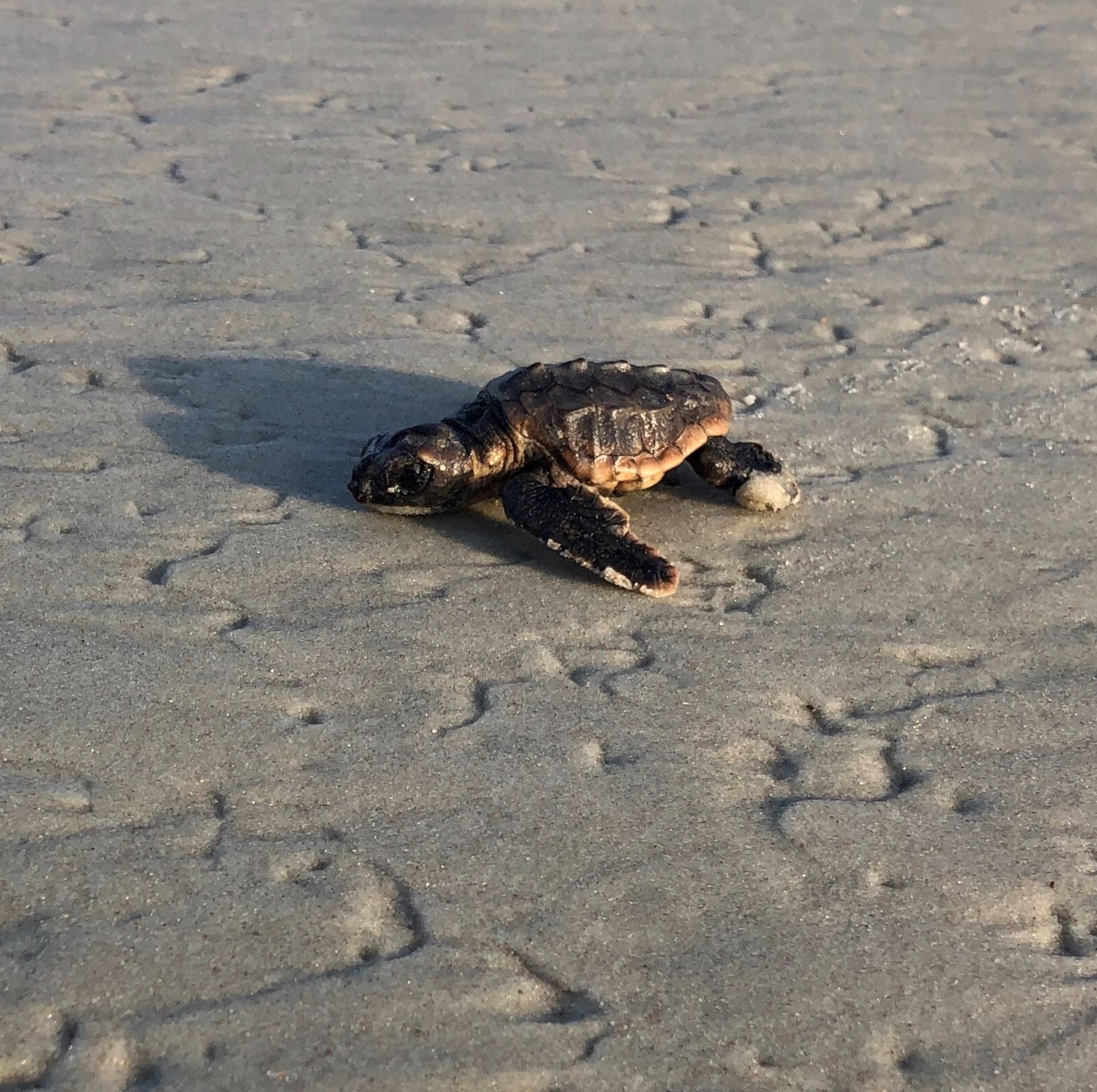 """Flyer"" the Baby Sea Turtle"